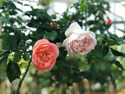 Say đắm hương sắc vườn hồng 999 đóa tại vườn yêu Vinpearl